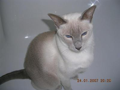 Ruled By Abbie My Lilac Point Siamese
