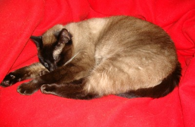 Siamese cat on red background
