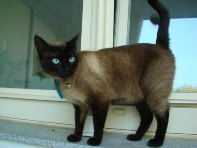 Siamese cat with sapphire eyes