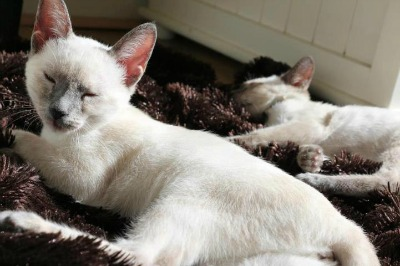Blue Point Siamese kittens