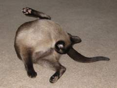 Siamese cat washing itself
