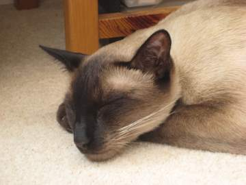 Siamese cat sleeping