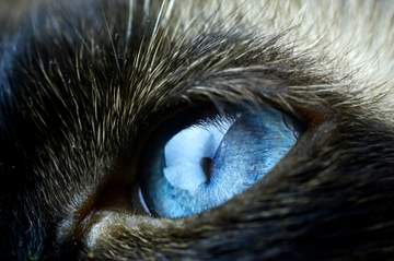 One of the Siamese cat characteristics - blue, blue eyes!