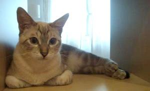 Tabby point Siamese cat