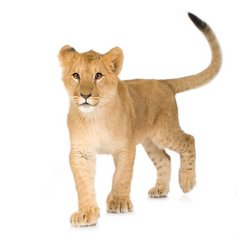 Young lion (similar in shape to a Siamese cat?)