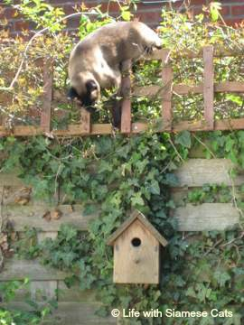 Adventurous personality! Siamese cat exploring nesting box
