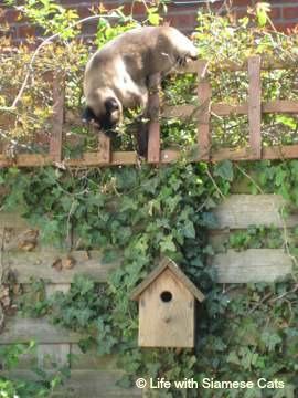 Siamese cat exploring a nesting box