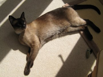 The Siamese cat personality enjoys napping in the sun