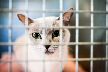 Caged Siamese mix cat in Siamese rescue center