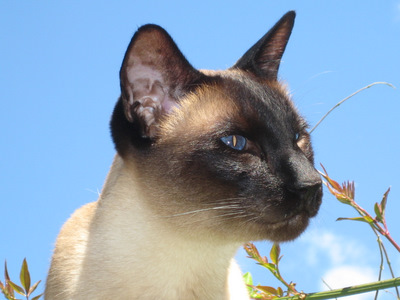 Siamese cat in close-up against blue sky