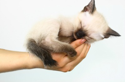Siamese kitten held tenderly in hand