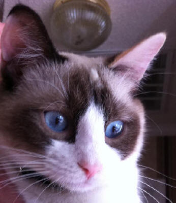Cat with Snowshoe facial markings