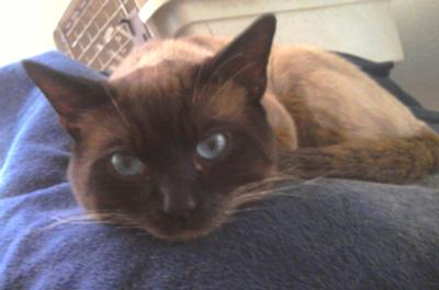 simon a seal or chocolate point siamese