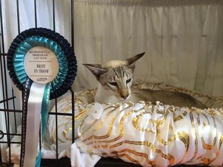 Siamese Cat Shows 2020