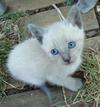 Tai-Tai as a kitten