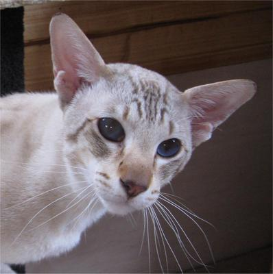 Tiffyan Siamese and Oriental Cats Oriental Cat Lifespan
