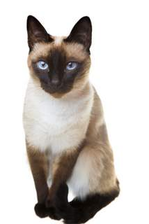 Traditional (Applehead) Siamese cat