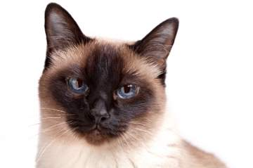 Traditional Seal Point Siamese cat