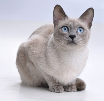 Traditional Blue Point Siamese cat