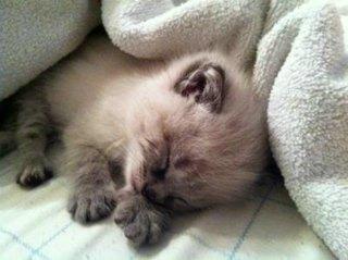 Very tiny Siamese kitten