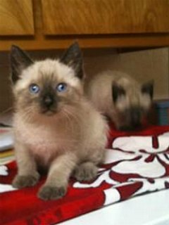 Seal point Siamese kittens