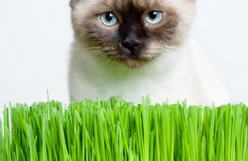Siamese cat eating grass