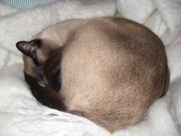 Siamese cat asleep on blanket