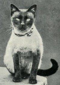 An early 'Thai' cat