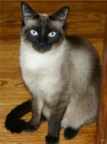 An Applehead Siamese cat today