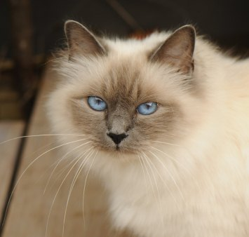 Blue Point Birman cat, with 'golden' aura