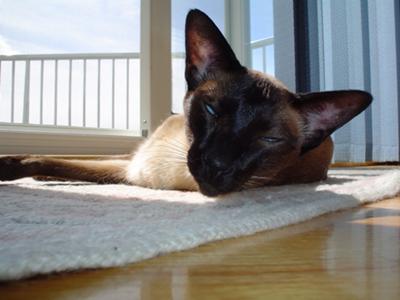 Sun-worshipper - Siamese cat in the sun