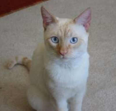 The Flame Point Siamese Cat