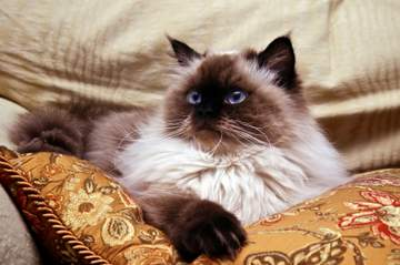 Seal Point Himalayan Persian cat