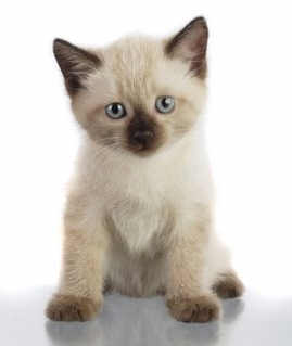 Siamese kitten asking 'how long do cats live?'