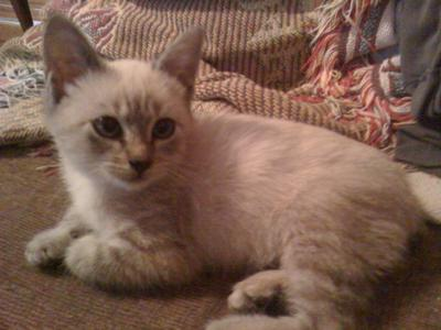 What color lynx point Siamese am I?