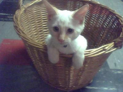 Milky, the Flame Point Siamese