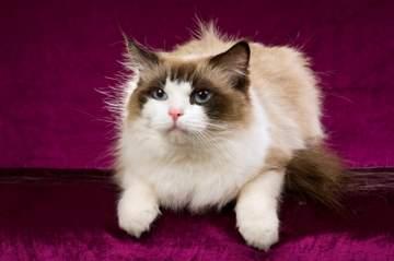 Ragdoll cat breed - Bicolor variety
