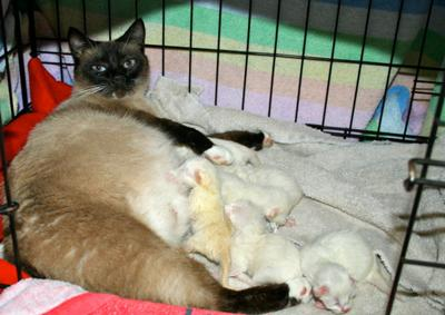 Snowshoe Siamese? Zoey and her kittens