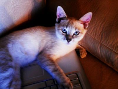Lynx Point Siamese cat, Sanskrit