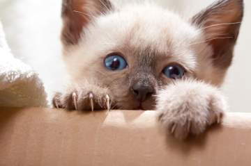 Siamese kitten peeking over an arm!