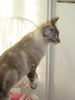Tabby point Siamese cat
