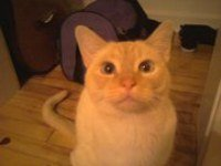 Flame point Siamese cat