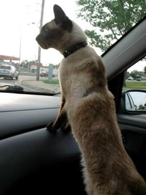 Siamese cat riding in car