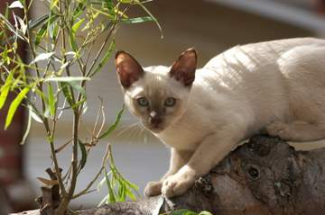 Champagne or Chocolate Pointed Tonkinese kitten