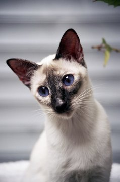Seal Tortie Point Siamese cat