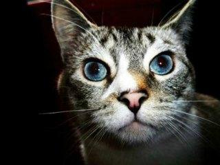 Lynx point Siamese cat