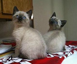 Seal point Siamese kittens