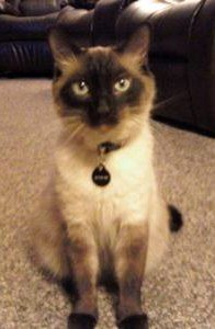 Seal point Siamese cat, bright blue eyes