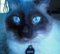 Seal point Siamese cat Meeko
