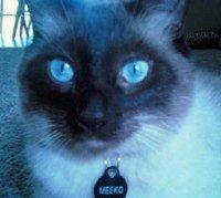 Seal point Siamese cat Meeko